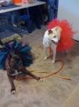 Dogs-in-tutu